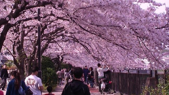 Lễ hội Hanami - lễ hội hoa anh đào tuyệt đẹp ở Nhật Bản