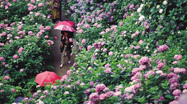 Hoa Ajisai – nét đẹp mùa mưa Nhật Bản